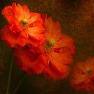 Spanish Poppy. Orange Flowers. Textured and Toned. by Barbara  Jones ~ PhotosEcosse
