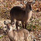 Waterbuck pair by Owed To Nature