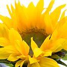 Sunshine sunflower by Sandra O'Connor