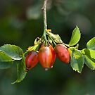 Unknown berries by Daphne Johnson
