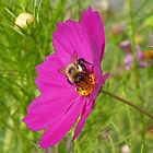 Bee in Cosmos by Sandra Fortier