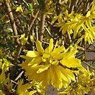 Goldene Forsythie-Blume von BlueMoonRose