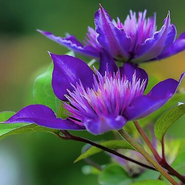Clematis Blossoms by rural-guy