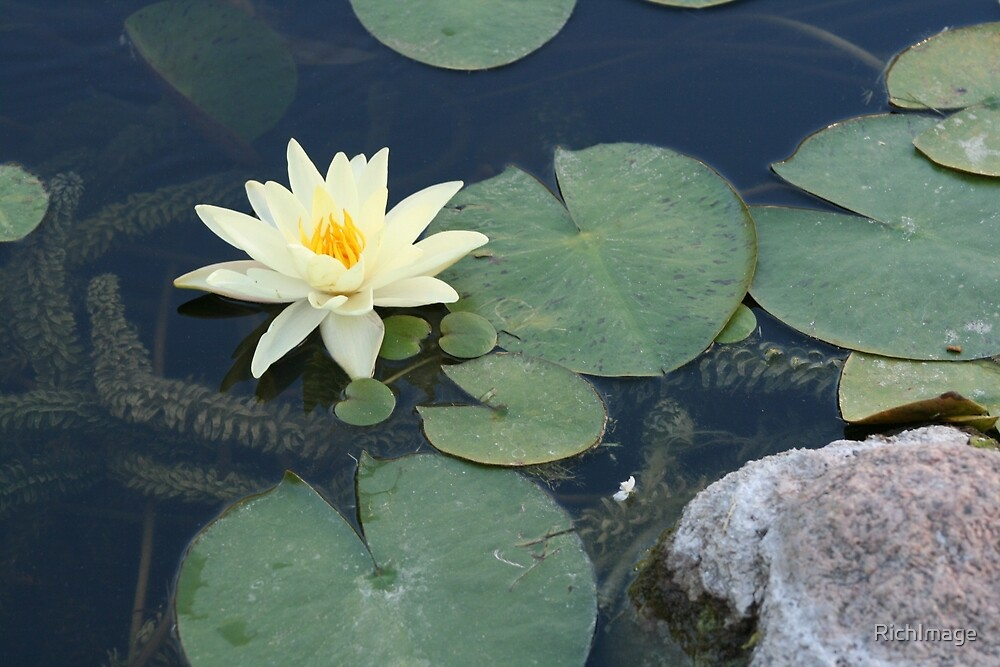 Water lily with rock by RichImage