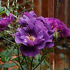 Floribuna Rosen von Kathryn Jones