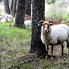 The forest sheep by jchanders