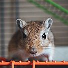 Choc the Gerbil by Monica Carvalho (mofart_photomontages)