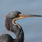 Tricolored Heron by kathy s gillentine