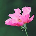 Pink Perfection by Tracy Friesen