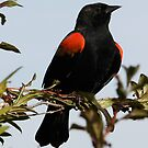 A Regal Red-Winged Blackbird by Wolf Read