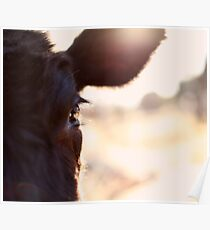 Cows have the most beautiful eyes Poster