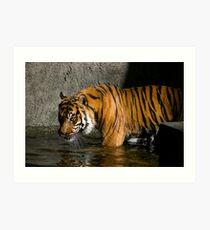 Tiger in water Art Print