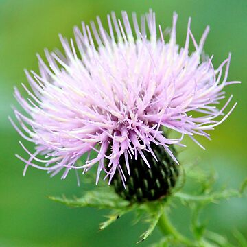 Thistle by croper