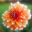 Weiß gekippte orange Dahlie von BlueMoonRose