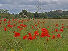 Poppies by Ryan Davison Crisp
