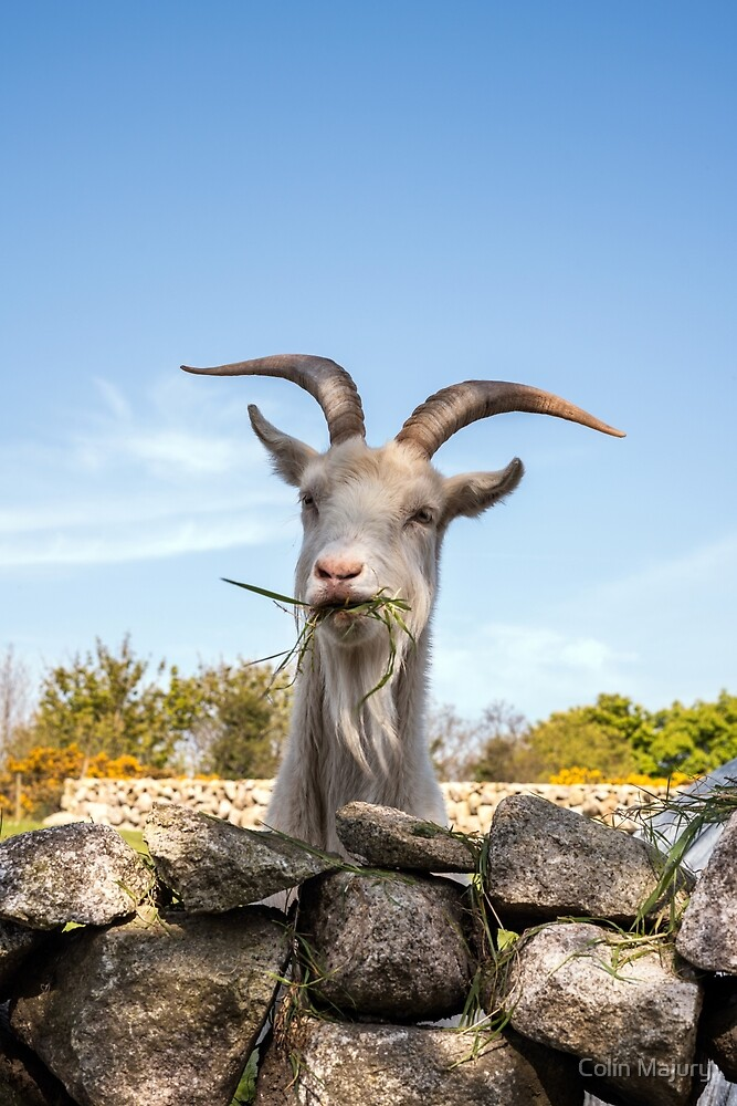 Billy Goat by Colin Majury