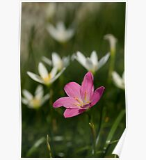 Zephyranthes grandiflora or pink rain lilly Poster