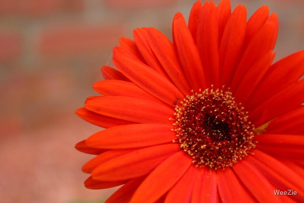 Orange Gerber Daisy by WeeZie