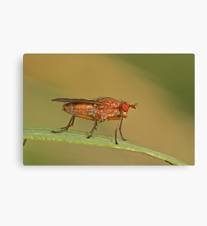 Dung Fly Canvas Print