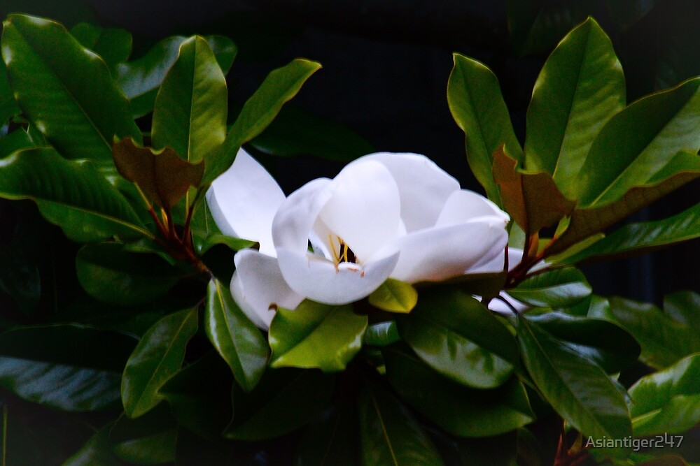 Magnolia by Asiantiger247