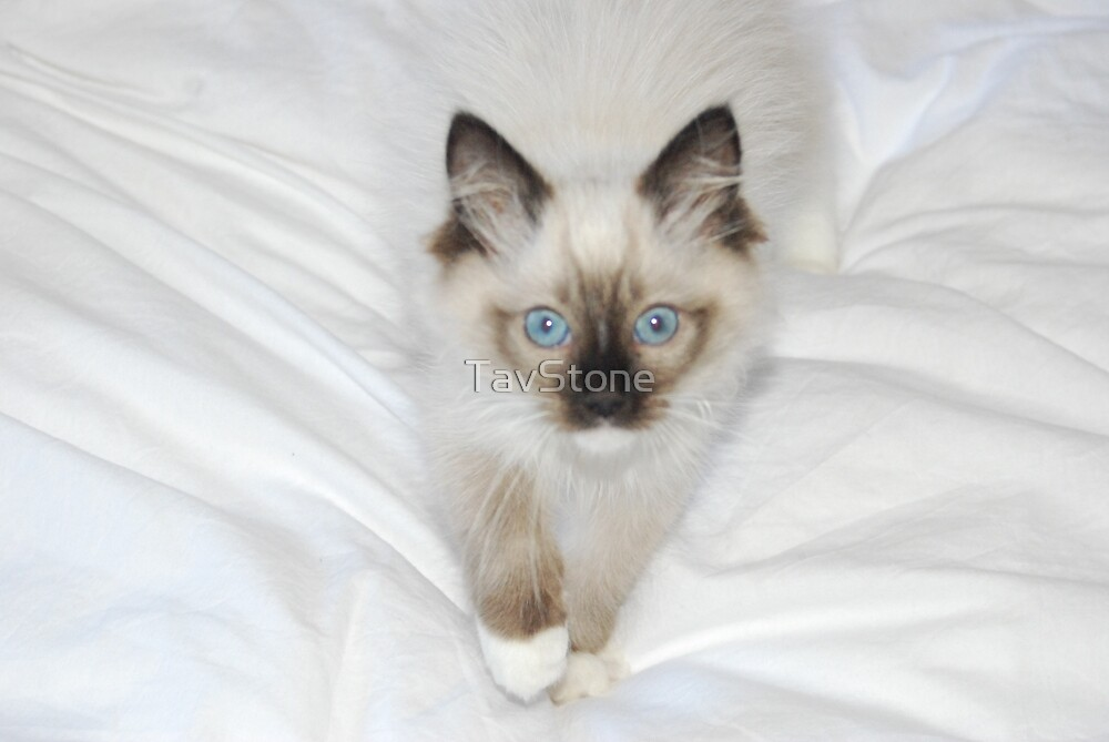 Cute and Fluffy Ragdoll Kitten by TavStone
