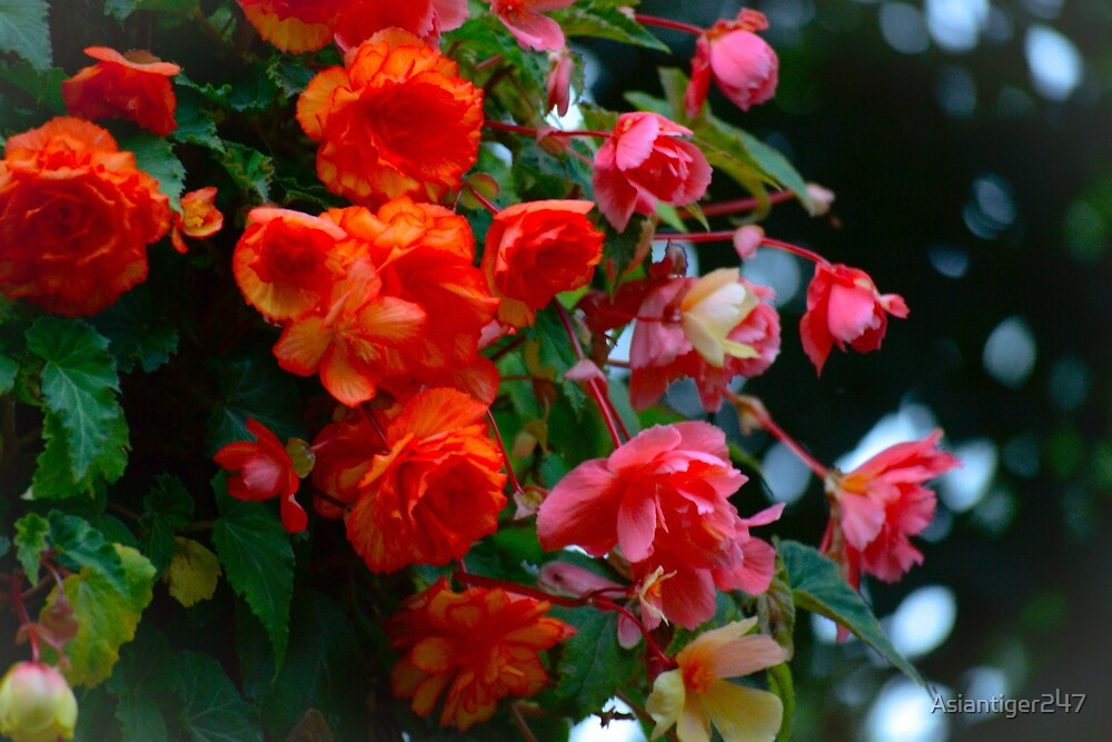 Begonia Mix by Asiantiger247