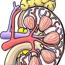 Human Kidney Anatomy Illustration - Nephrology Renal Diagram by taylorcustom