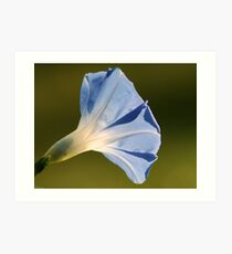 Morning Glory in All Its Glory Art Print