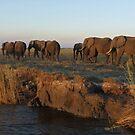 Elephants, Bachelor Herd, Chobe, Botswana by npdesign