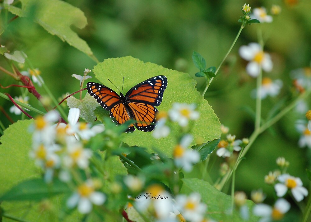 Viceroy Butterfly - Limenitis archippus by rd Erickson