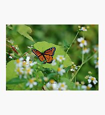 Viceroy Butterfly - Limenitis archippus Photographic Print