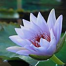 Angela Tropical Water Lily by Robert Armendariz