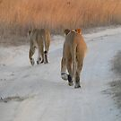Lionesses at sunset, Zimbabwe by npdesign