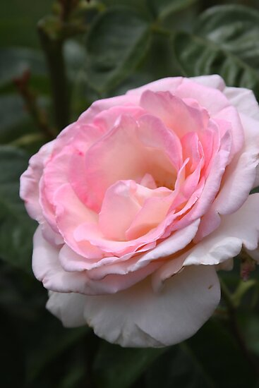 Pink Promise Hybrid Tea Rose by Robert Armendariz