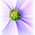Purple Rays by Barbara  Brown