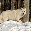 Beautiful Arctic Wolf  (View Large) by vette