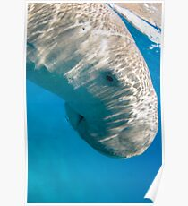 Dugong At The Surface Poster