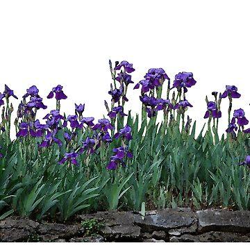 Iris Watercolor by jherbert101