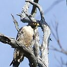peregrine falcon by Rick Playle