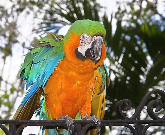 Harlequin Macaw by Carole-Anne