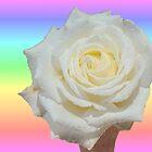 Rainbow and White Rose by Margaret Stevens