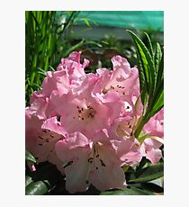 Pink Rhododendrum Photographic Print