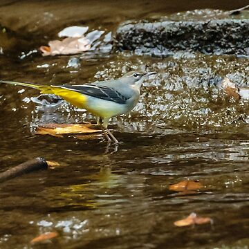 Grey Wagtail in the river by Dalyn
