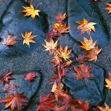 Fallen yellow Japanese maple leaves on shiny wet stones after a rain art photo print by AwenArtPrints