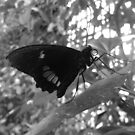 Butterfly 6 by WhiteDiamond