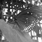 Butterfly 8 by WhiteDiamond