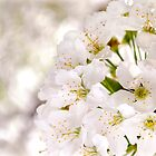 White Blossom Photography by TLStudio