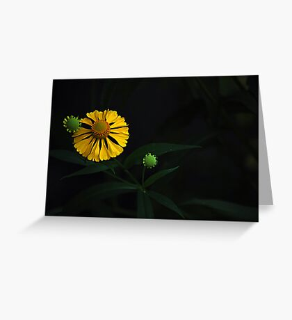 August Flowers ~ Dogtooth Daisy Greeting Card