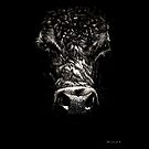 Angus Cow on Scratchboard by Seth LaGrange