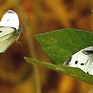 The Willingness of the Great Southern White Butterfly by DigitallyStill